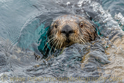 Sea Otter Surprise!