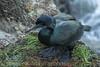 Brandt's Cormorant on Her Nest