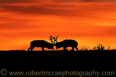 Tule Elk Sunrise Art