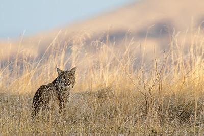 Early Morning Bobcat