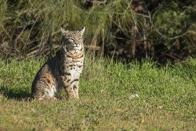Bobcat in the Sun
