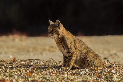 """Bobcat Watching"""