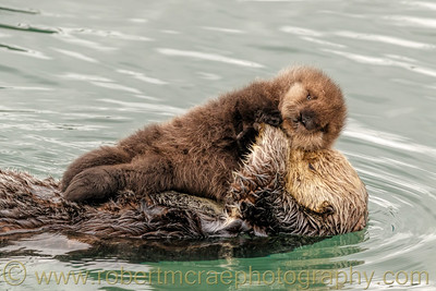 Southern Sea Otter with Pup