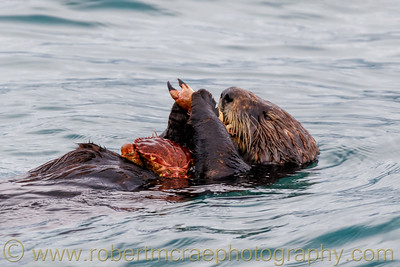Southern Sea Otter with Crab Dinner