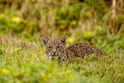 Hidden Bobcat