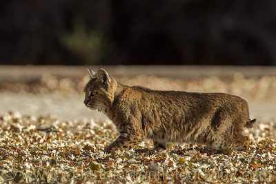 """Bobcat Stalking"""