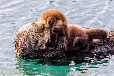 Southern Sea Otter with Young Pup