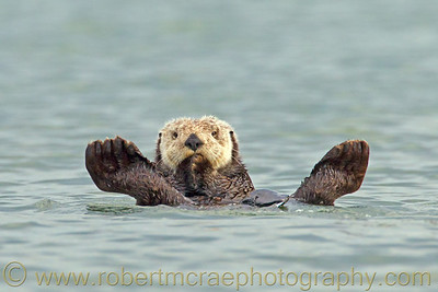 """A Sea Otter Relaxing in the Bay"" - Award Winner"