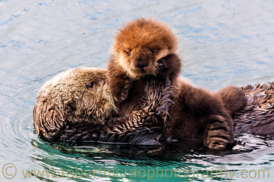 Southern Sea Otter with Grumpy Pup