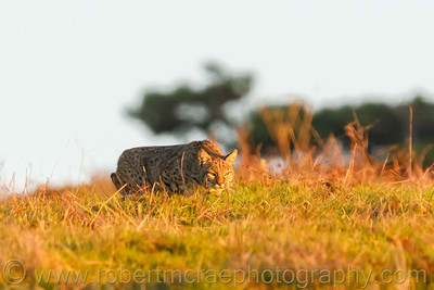 Bobcat Hunting in Golden Light