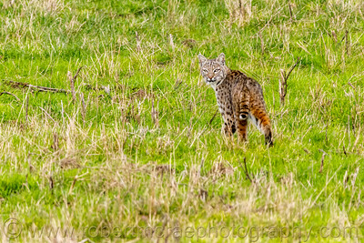 Bobcat Lookback