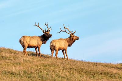Dual Bull Elk Bugle