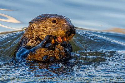 Southern Sea Otter with Shellfish on a Rock
