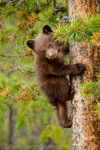 """Black Bear Cub Up a Tree"" - Award Winner.  I just think this cub is cute.  I have a print of this photo hanging in my home."