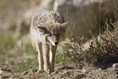 A young Coyote.