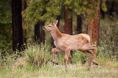"""High Stepper""  This is an Elk Calf."