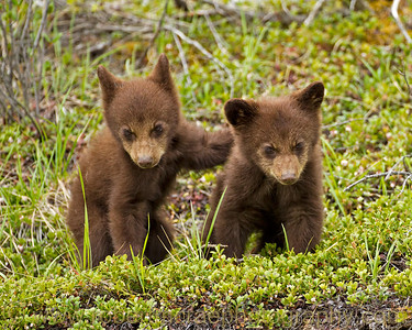 Black Bear cubs and buddies.