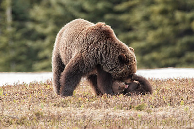 """Play Time"".  A Grizzly mom plays with her cub on the slope of the Rockies."