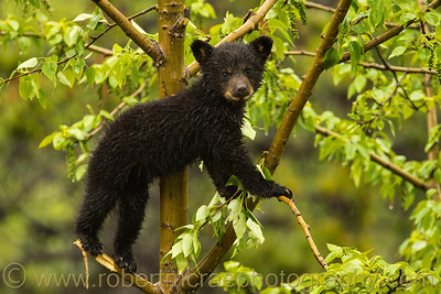 Wet Black Bear cub in a tree.