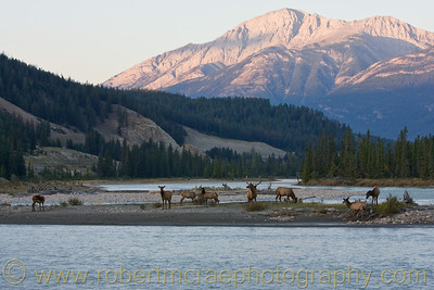 Elk on an island in the Athabasca River.