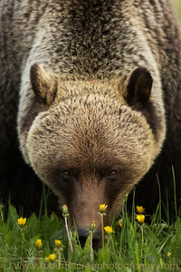 """Grizzly in a Candy Store"" - Multiple award winner.  As seen on EarthShots.org.  I have a 20"" x 30"" print of this photo hanging in my den.  It looks really Nice!"