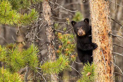 Black Bear cub up a tree.