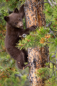 Black Bear cub watching from a tree.