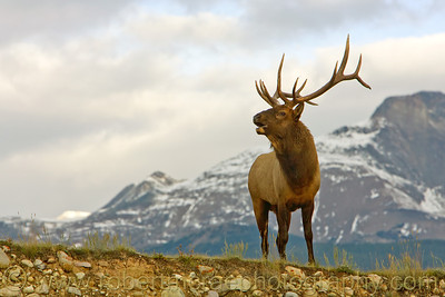"""Bugling Elk in the Rockies"" - Award Winner"