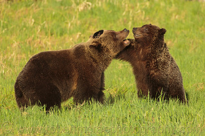 """Grizzly Love"" - Award Winner.  This is the first mating pair of Grizzlies I have photographed.  I just love the loving look on their faces as they play with each other."