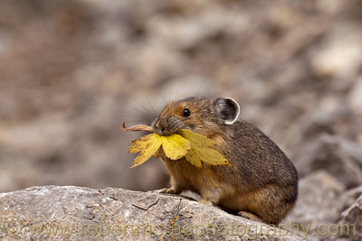Pika.with a leaf.