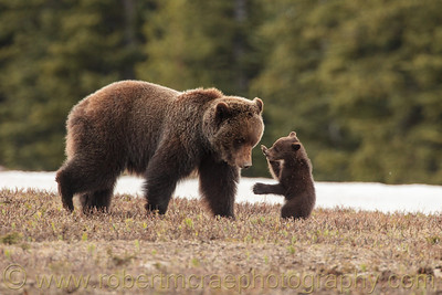"""Play Time"".  Grizzly mom playing with her cub on a mountain slope."
