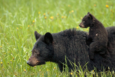 Black Bear with cub.