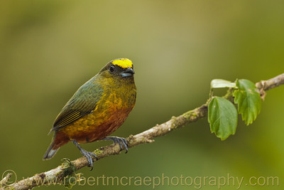 Olive-backed Euphonia.