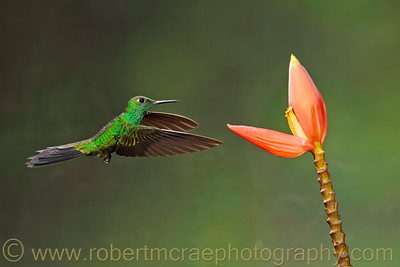 Green-crowned Brilliant.