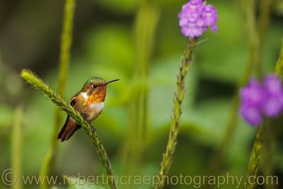 Scintillant Hummingbird.