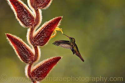 Rufous-tailed Hummingbird.