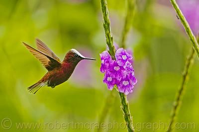 Snowcap Hummingbird.