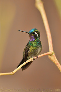 Purple-throated Mountain-Gem.