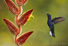 """Violet Sabrewing Visits My Heliconia"" - Award Winner."