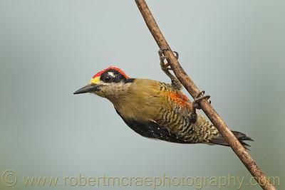 Black-cheeked Woodpecker.