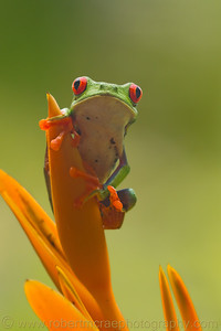 Red-eyed Tree Frog,