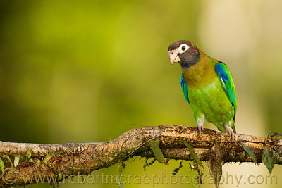 Brown-headed Parrot.