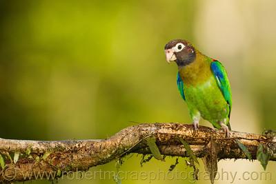 Brown-headed Parrot.
