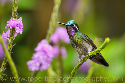 Purple-throated Mountain Gem.