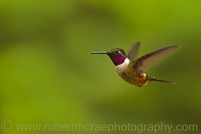 Magenta-throated Woodstar.