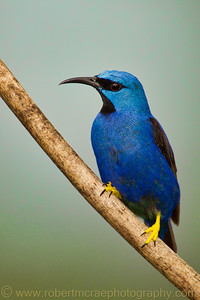 Shining Honeycreeper.