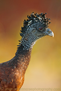 Great Curassow female.