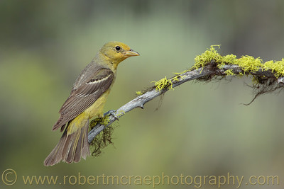 """Female Western Tanager"""