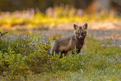 """""""Red Fox in the Flowers"""""""