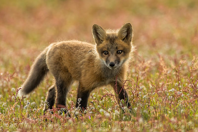 Little Red Fox in the Flowers